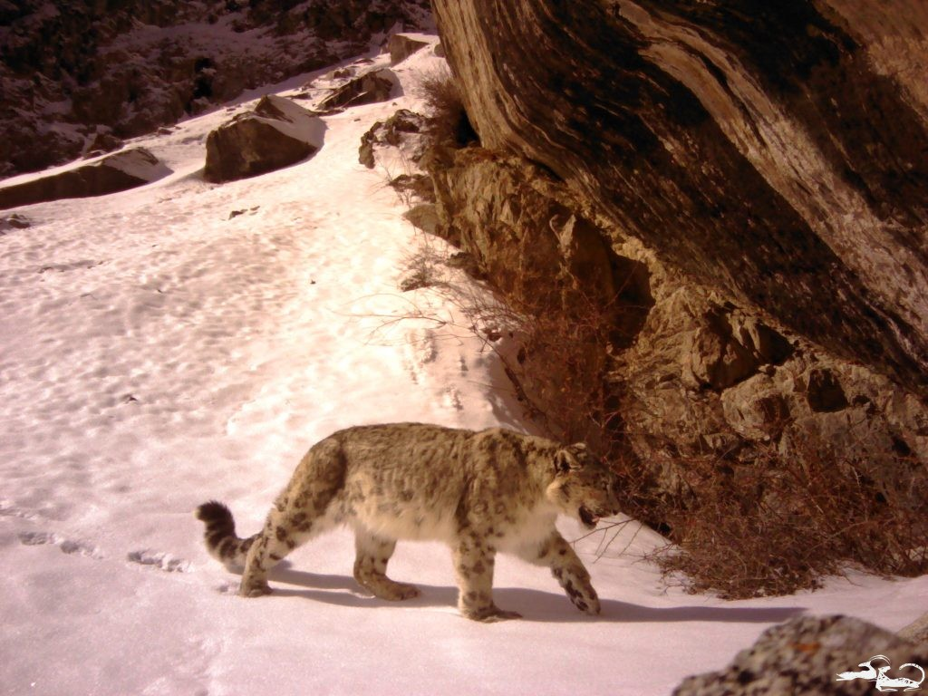 First Photos of a Snow Leopard in Ala-Archa National Park