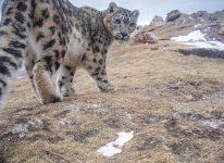 mar2016_j13_snowleopards-jpg__600x0_q85_upscale