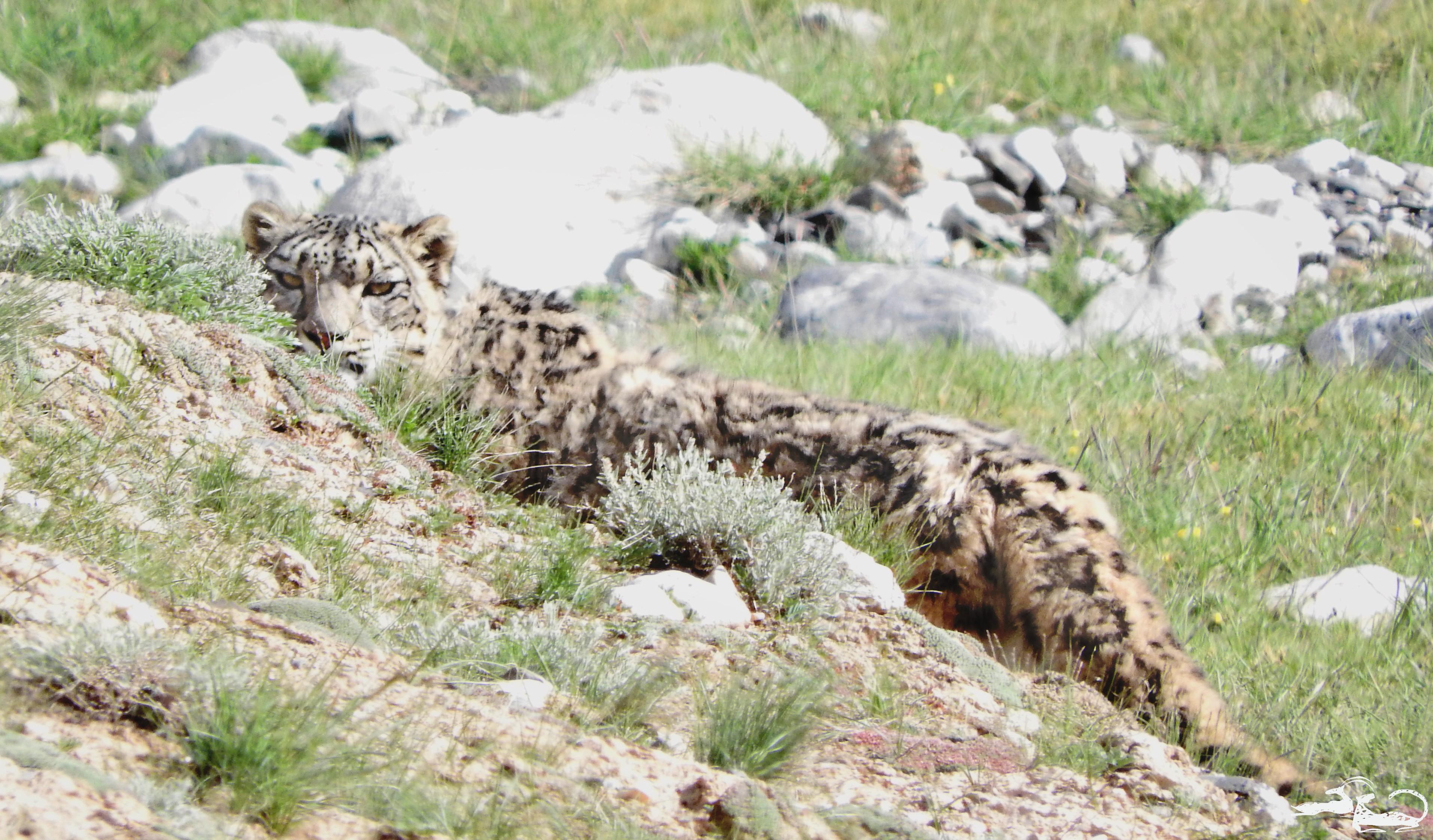Snow-Leopard-Blog-DSCN1608